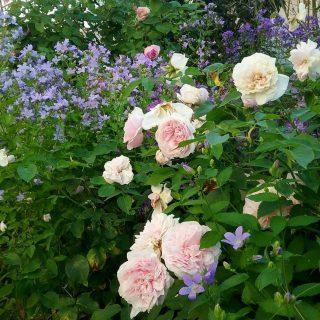 Сейчас модно высаживать колокольчик молочноцветковый рядом с розами