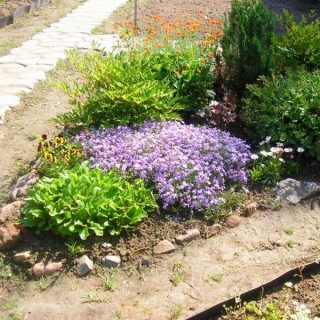 Низкорослые колокольчики могут высаживаться в альпинарии либо в виде бордюров вдоль дорожек, или же как контейнерные цветы с последующим возвращением в сад осенью