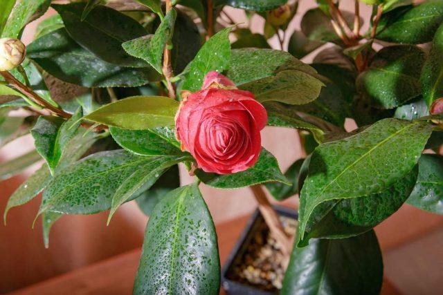Для поддержания средней влажности воздуха достаточно защитить растение от сухого воздуха вблизи отопительных систем и регулярно опрыскивать по листьям и бутонам