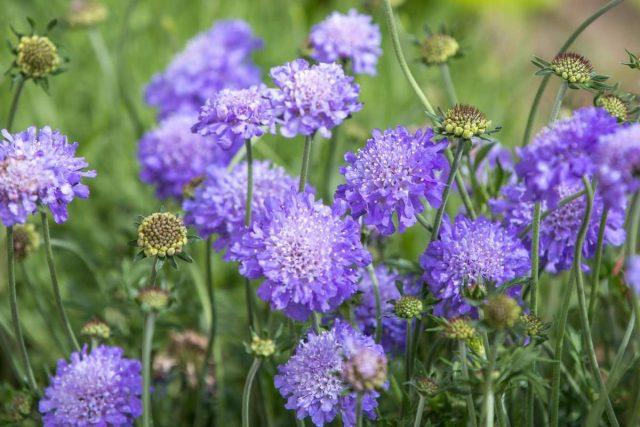 Короставник полевой — декоративный и целебный