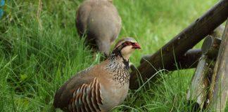 Куропатки — выгодная птица для содержания в личном хозяйстве