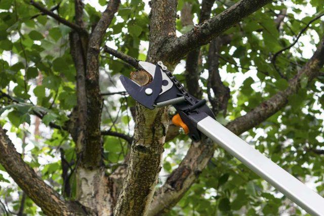 Если раньше дерево не формировалось, летом лучше и не начинать, ограничиться санитарной обрезкой