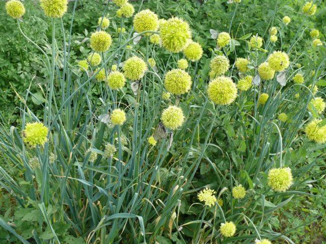 Лук косой (Allium obliquum)
