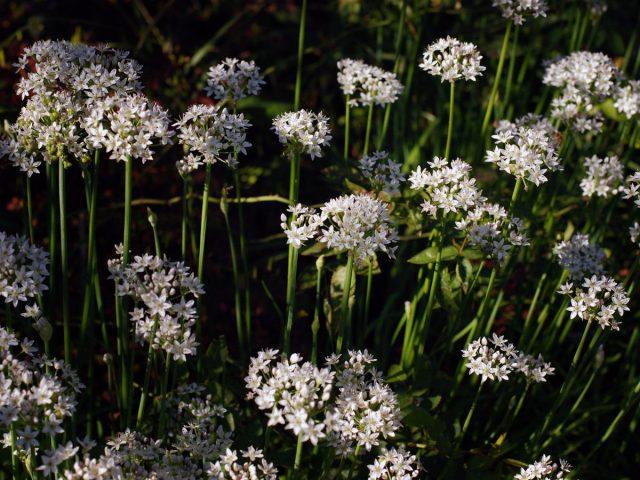 Лук душистый (Allium odorum)