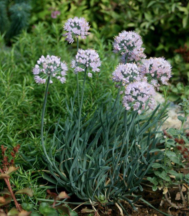 Лук стареющий (Allium senescens)