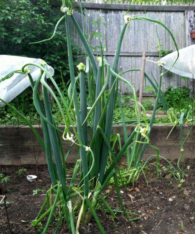 Лук многоярусный (Allium proliferum)