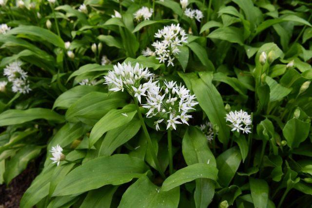 Черемша, или Лук медвежий (Allium ursinum)