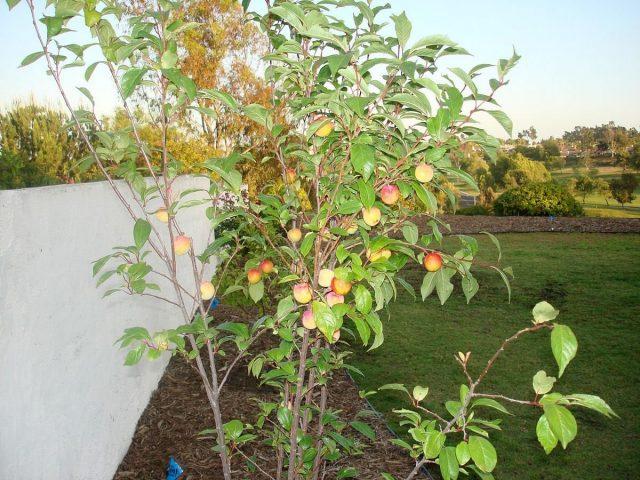 Плуотам, как и плумкотам, подойдут условия выращивания, которые соответствуют требованиям сливы