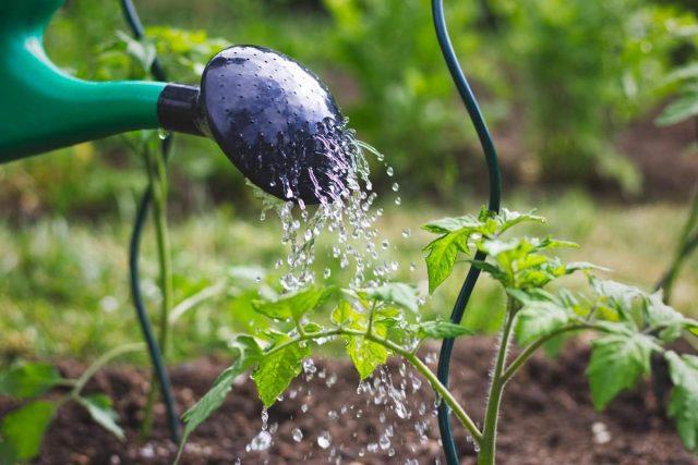 Томаты необходимо не только регулярно поливать, но и в случае необходимости, обеспечивать дополнительным поливом