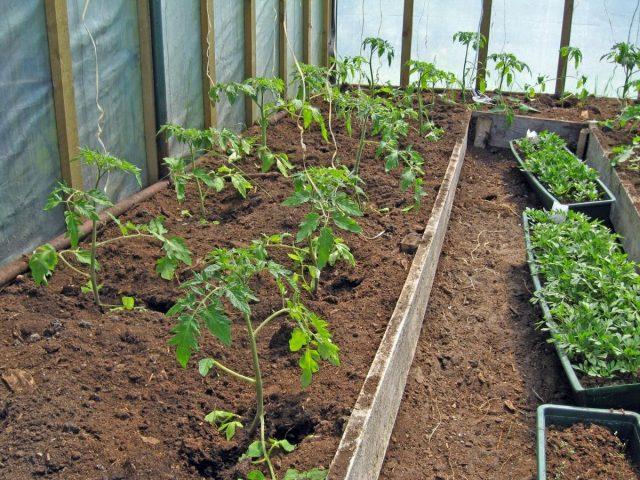 В теплицах причиной недостаточного количества завязи у томатов может стать избыток влаги