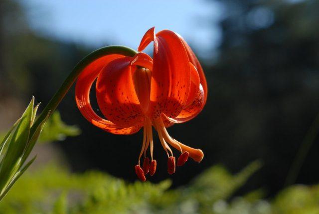 Лилия халкедонская (Lilium chalcedonicum)