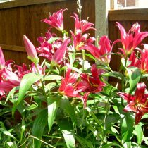 Трубчатый гибрид лилии (Lilium Trumpet Hybrid)