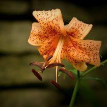 Американский гибрид лилии (Lilium American Hybrid)
