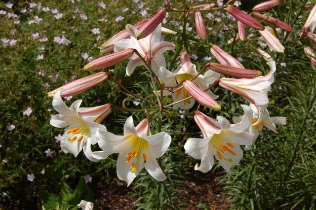 Лилия королевская (Lilium regale)