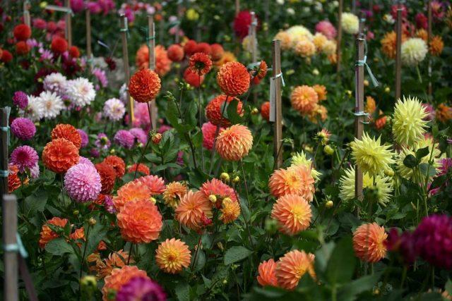 В течение всего лета георгины (Dahlia) нуждаются в заботе