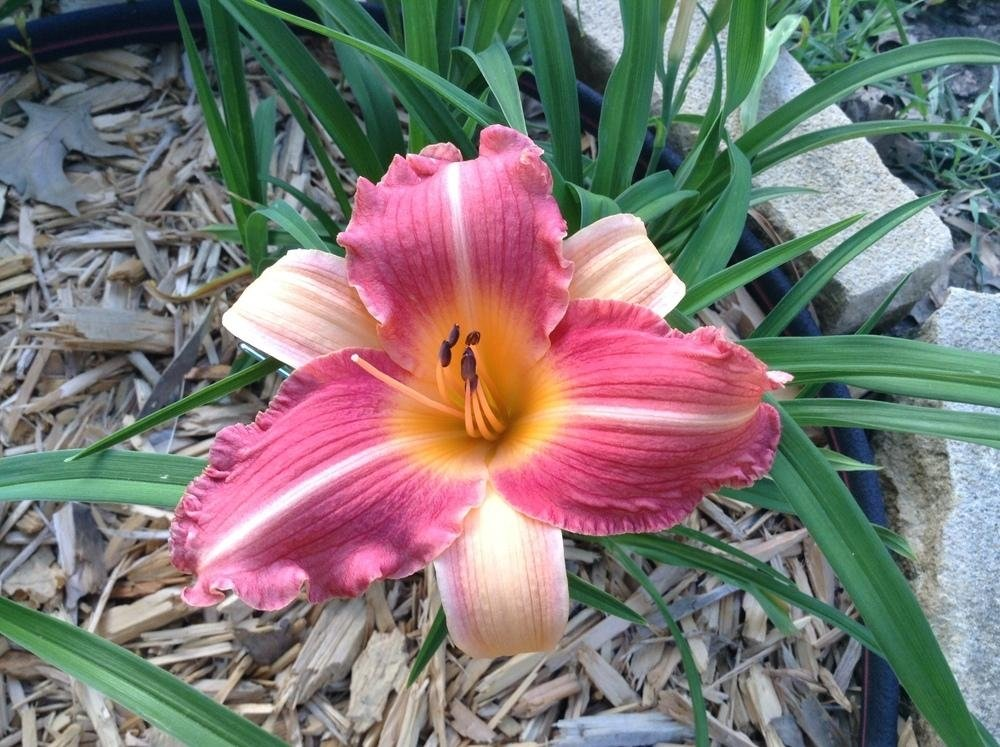 Hemerocallis-Karen-Sue-3