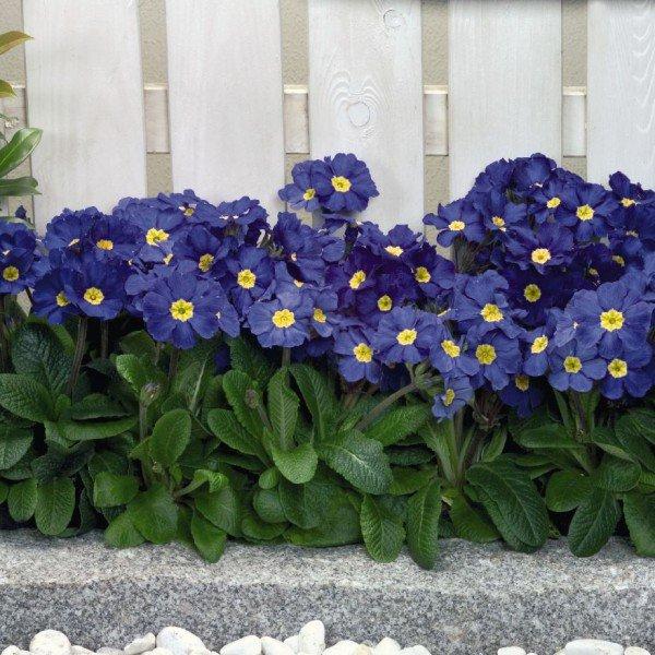 Primula-Crescendo-Blue-Shades-2