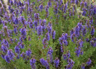 Пряные травы – палитра для гурманов – Иссоп