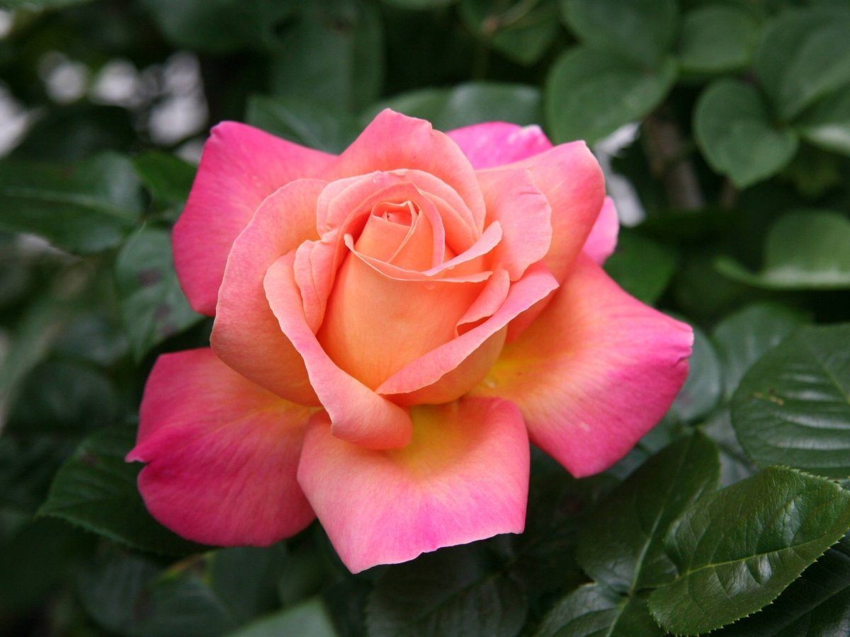 Rosa-Chicago-Peace-1