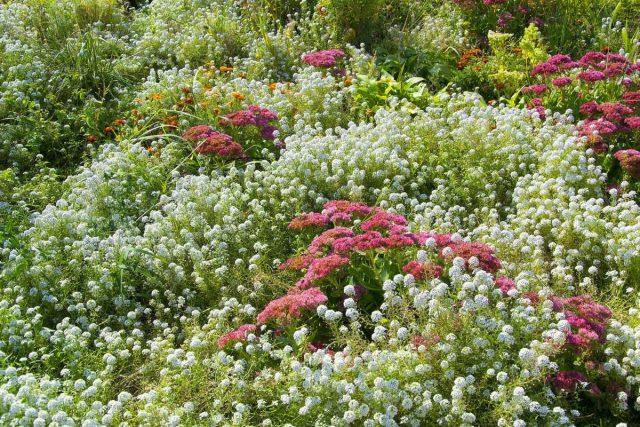 Алиссум отлично смотрится в садах природного стиля
