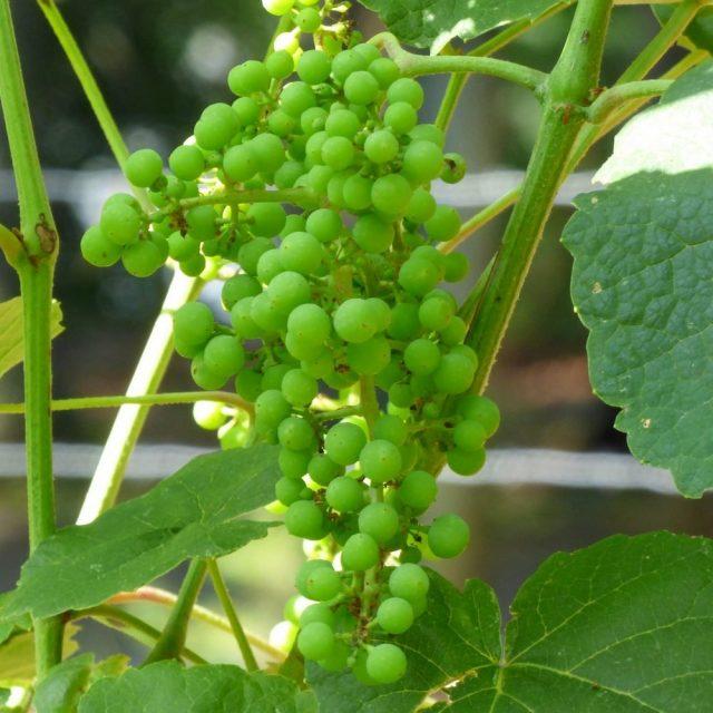 Признаки дефицита кальция у винограда