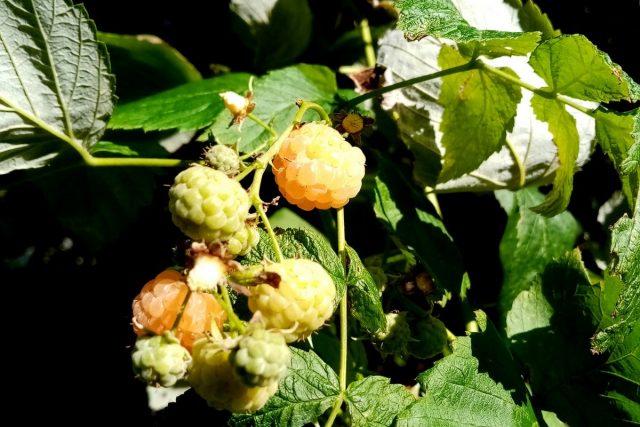 В сентябре ещё плодоносит ремонтантная малина