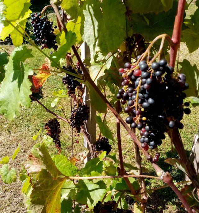 В сентябре созревает кишмишный сорт винограда