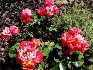Розам в сентябре хорошо