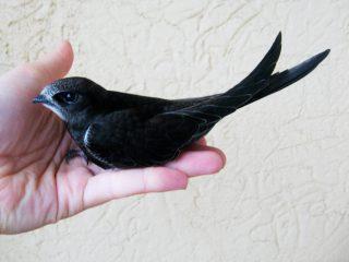 У стрижа, готового к полету, крылышки становятся длиннее хвоста