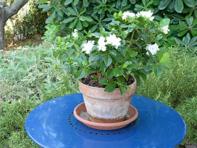 Гардения царственная, или жасминовидная (Gardenia jasminoides)