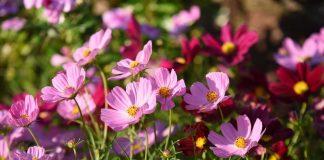 Космея — неприхотливый и яркий летник для вашего сада