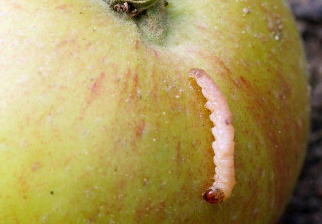 Самые очевидные вредители плодов — плодожорки (Cydia pomonella)