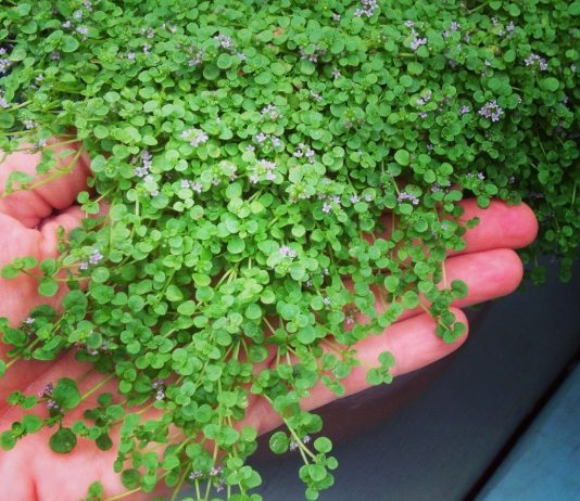 Мята корсиканская — крошечный и ароматный почвопокровник