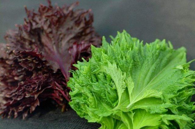 Зеленолистные сорта периллы самые «овощные», у них нежные листочки, у краснолистных листики грубее, шершавее и насыщеннее вкусом и ароматом