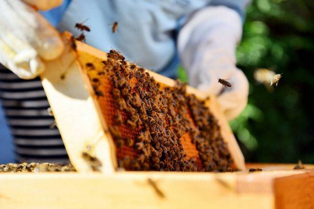 Секрет тёмного мёда, или Как мои пчелы медвяную росу собирают