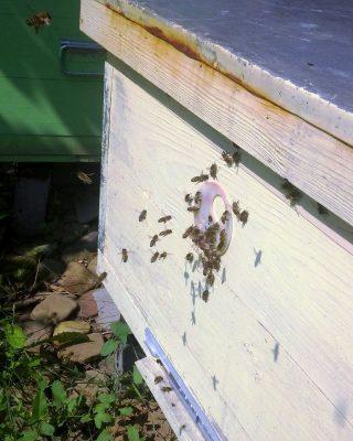 Слабая семья пчёл