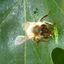 Пчела собирает медвяную росу