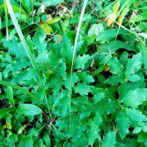 Молодые сладкие побеги дуба прорастают среди земляники
