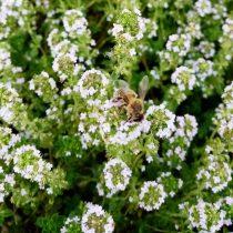 Пчёлы собирают нектар с тимьяна лимоннопахнущего