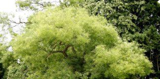 Софора японская — растение, которое вылечило меня от незаживающих ран