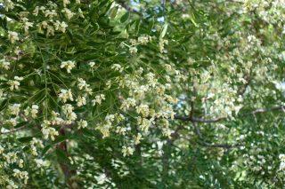 Цветки софоры считаются антибактериальным, антихолестеринемическим, противовоспалительным, спазмолитическими, гемостатическим средством