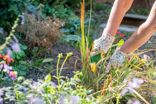В летнем цветнике стоит уделить внимание обрезке засохших цветков или соцветий, снятию сухих и желтеющих листьев и удалению поврежденных побегов