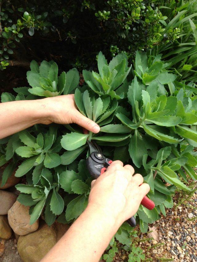 Обрезка наполовину стеблей очитка задерживает его цветение более чем на месяц