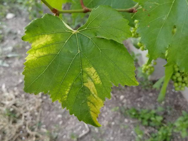 Проявление дефицита цинка на листьях винограда