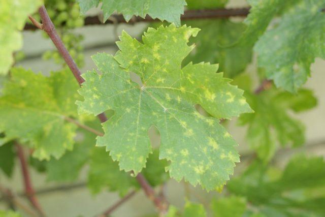 Проявление дефицита марганца на листьях винограда