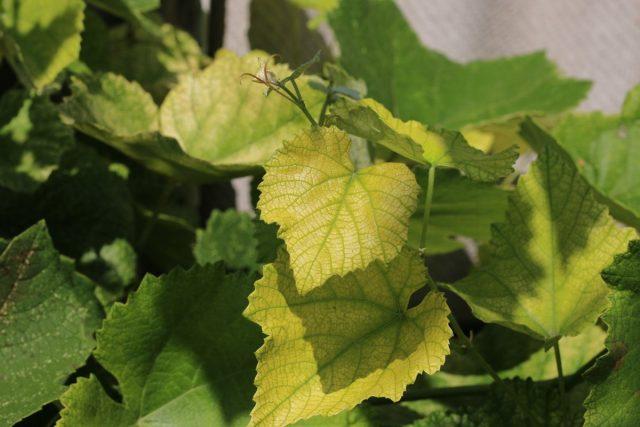 Дефицит железа у винограда