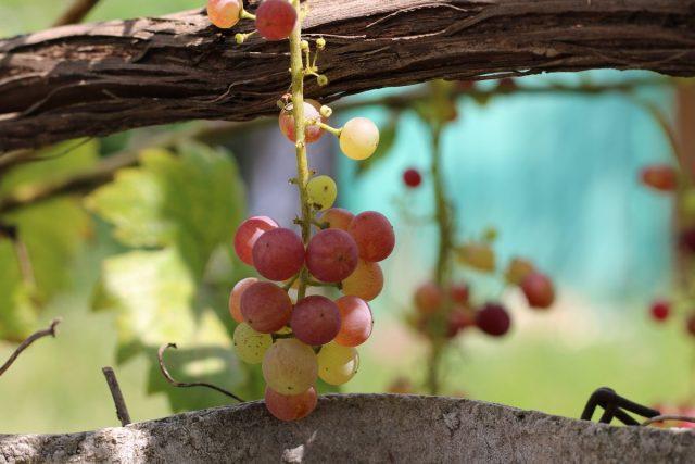 12 проблем в питании виноградной лозы, или Чего не хватает винограду?