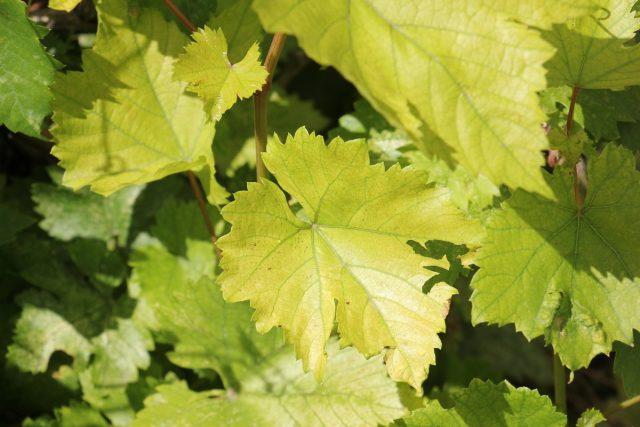 Дефицит азота у винограда