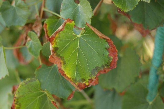 Дефицит калия у винограда