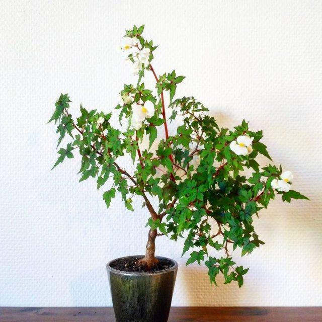 Бегония Дрега (Begoniadregei)